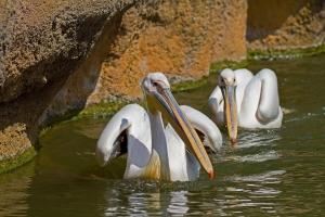 Pelican4169